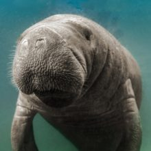 Florida's state marine mammal, the manatee, is falling prey to plastics